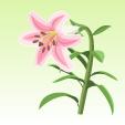 ユリ【ピンク】
