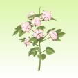 ニコット綿花【ピンク】