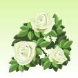 バラ【白】