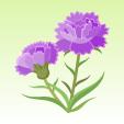 カーネーション【紫】