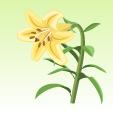 ユリ【黄金】
