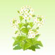 菜の花【白】