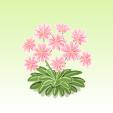 レウィシア【ピンク】