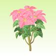 ポインセチア【ピンク】