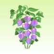 ほおずき【紫】