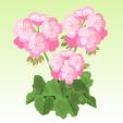 ゼラニウム【ピンク】